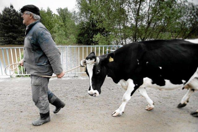 Polscy rolnicy według UE sprzedali za dużo mleka, więc... zapłacą ok. 900 mln zł kary