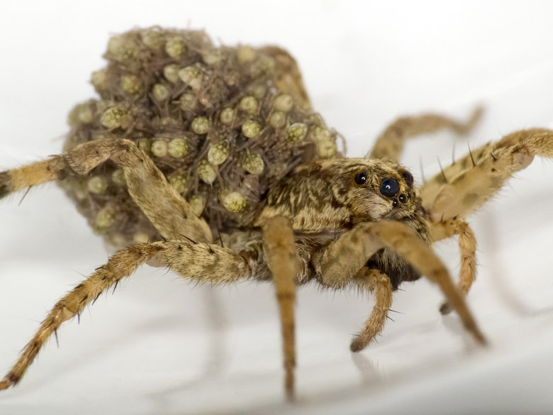Samica pająka z rodziny pogońcowatych z młodymi