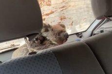 Nastolatkom udało się uratować 20 koali.