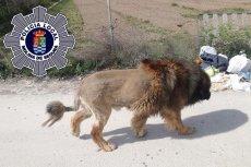 """Policja kilka godzin szukała """"lwa""""."""