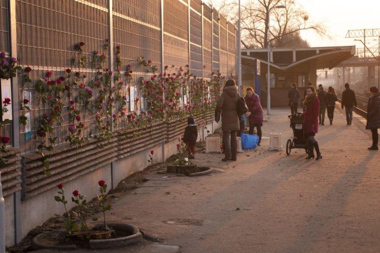 Nocą wycięto blisko 80-letnie drzewa. Mieszkańcy Piastowa przynoszą róże, by pożegnać je z szacunkiem.