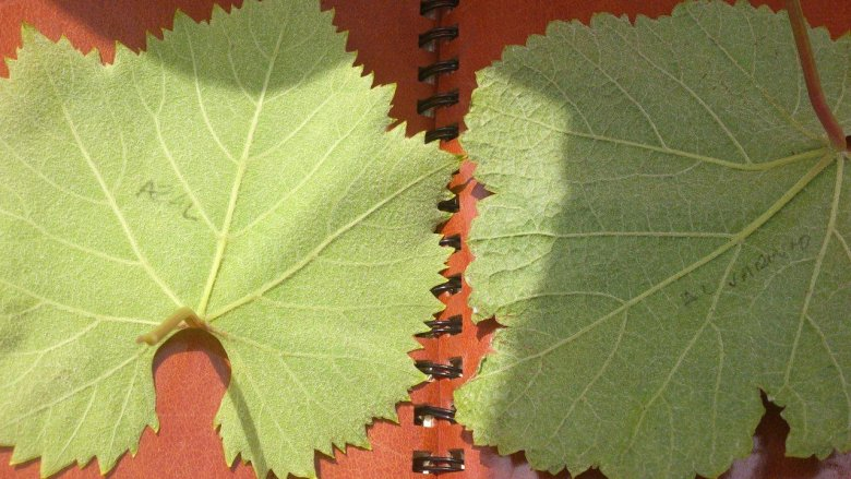 Rozpoznawanie odmian winorośli po liściach to trudne zadanie.
