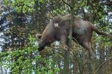 Zdjęcie martwego dzika mającego wisieć na drzewie obiegło media społecznościowe.