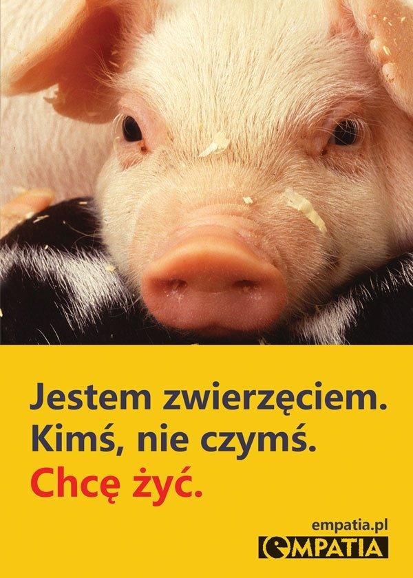 świnia chce żyć
