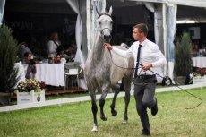 Nie tylko koni żal, ale też fachowców, którzy odeszli z renomowanych stadnin. Śledztwo w sprawie nieprawidłowości w zarządzaniu stadniną w Janowie Podlaskim zostanie umorzone.