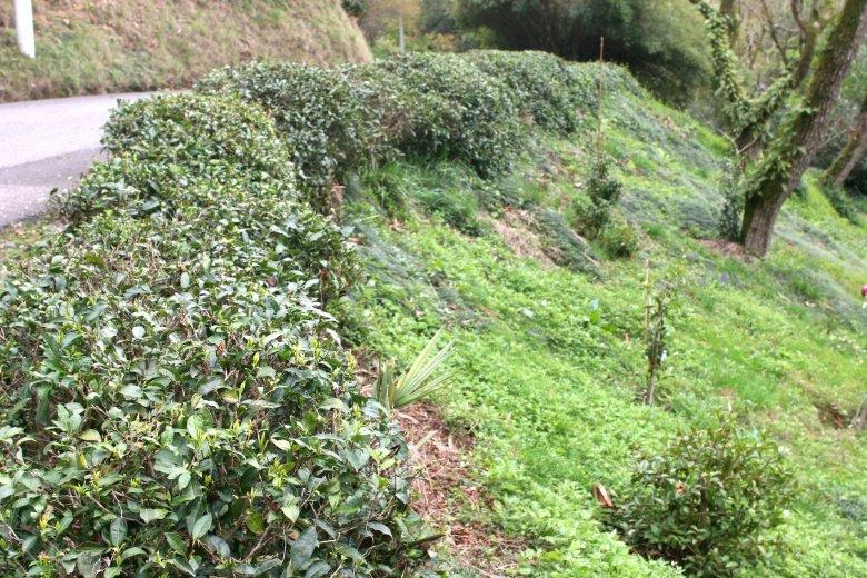 """Żywopłot okazuje się herbacianym """"polem""""."""