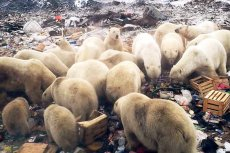 Niedźwiedzie polarne zawładnęły miejscowością położoną w rosyjskim archipelagu Nowa Ziemia.