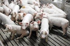 Rosja zapowiedziała, że wprowadzi embargo na wieprzowinę z Polski i Litwy