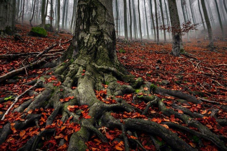 Powierzchnie z których stare drzewa czerpią wodę i sole mineralne znacząco powiększa symbioza z grzybami, które w zamian za pomoc w gromadzeniu wody dostają od drzew cukry.