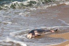 U wybrzeży Toskanii znaleziono 32 martwe delfiny i dwa inne walenie.