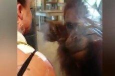 Zdziwiony orangutan z niedowierzaniem przygląda się ranom kobiety.