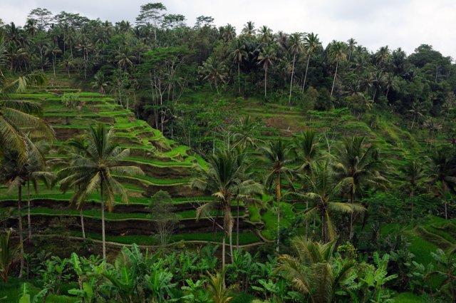 Balijskie pola ryżowe