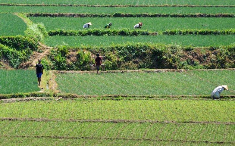 Obróbka pól ryżowych