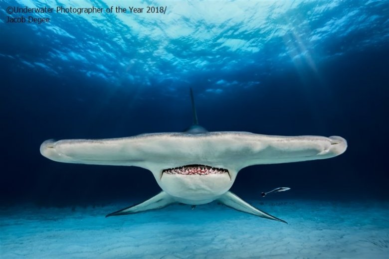 Cierpliwość, opanowanie i talent pozwoliły Polakow uzyskać efekt, który zachwycił sędziów w konkursie Underwater Photographer of the Year 2018