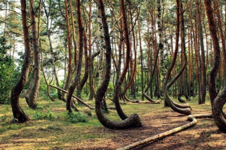 Krzywy las znajduje się niedaleko Gryfina