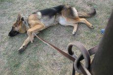 Właściciel zostawił psa przed jednym z warszawskich lokali i poszedł jeść ze znajomymi. Na zewnątrz pies umierał ze strachu. (zdjęcie poglądowe)