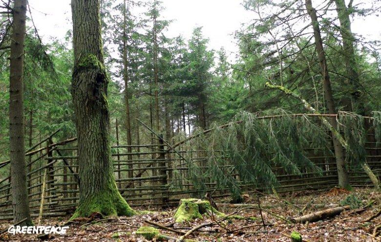 Hodowla drzew iglastych w Puszczy Białowieskiej