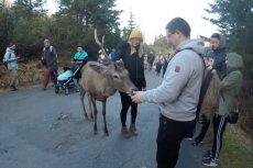"""Na nagraniu uchwycono, jak turyści """"obchodzą się"""" z dzikim jeleniem."""