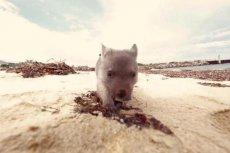 """Wombat Derek czeka na """"przytulacza"""""""