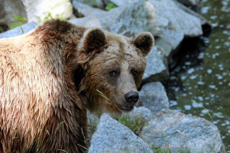 Niedźwiedzica zaatakowała mężczyznę w gminie Komańcza. Ranny w głowę trafił do szpitala.