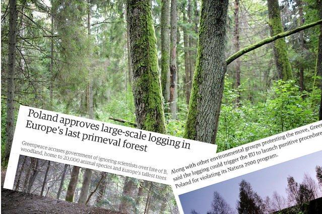 """""""The Guardian"""" pisze o wycince Puszczy Białowieskiej"""