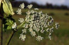 Latem trzeba naprawdę uważać, by nie oparzyć się tą rośliną - barszczem Sosnowskiego
