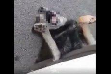 Fundacja Oleśnickie Bidy otrzymała w niedzielę nagranie, które zarejestrował sam sprawca - 22-latek trzykrotnie celowo przejechał psa. Mężczyzna błyskawicznie został zatrzymany.