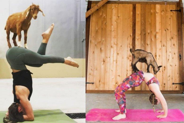 Goat yoga brzmi absurdalnie, a jednak ludzie ją pokochali. Można jej spróbować również w Polsce