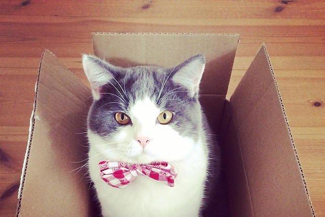 Modny kot w kraciastej muszce.