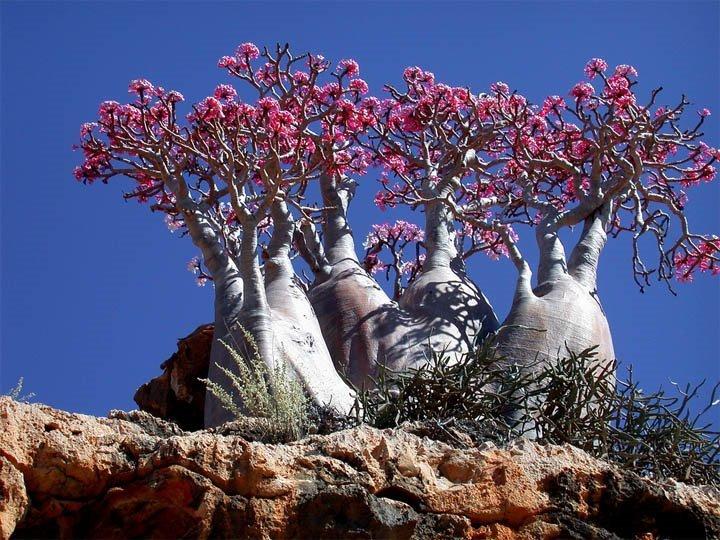 Socotra - prawdziwa roślinność z tej wyspy nie ma szans w żadnej realistycznej grze!