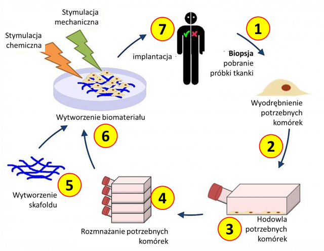 Schemat postępowania w inżynierii tkankowej