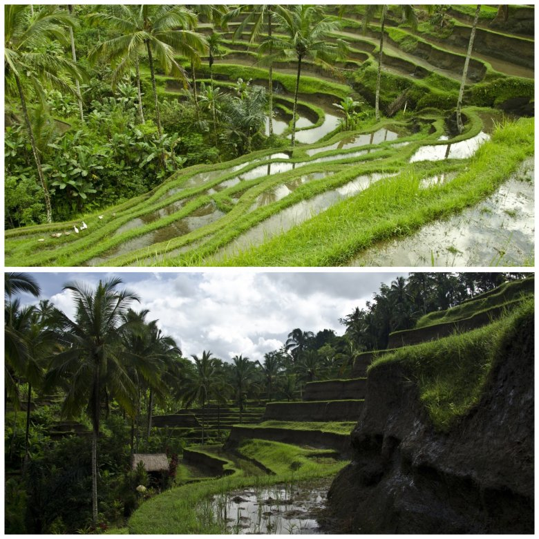 Piękne pola ryżowe na Flores. Indonezja.