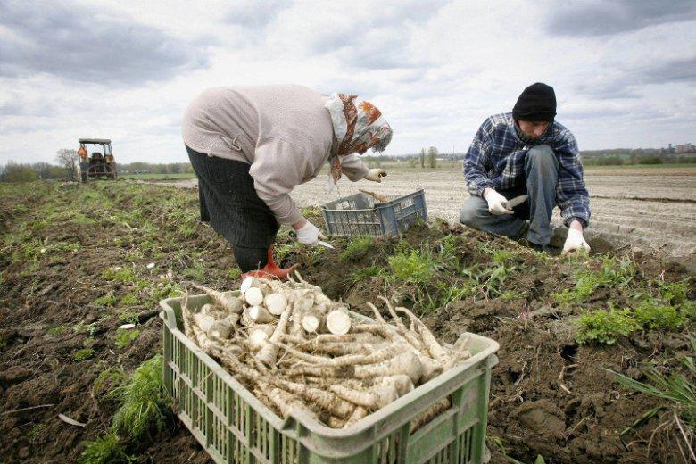 – Sama uprawa pietruszki jest dość trudna – mówi Maciej Kmera z Warszawskiego Rolno-Spożywczego Rynku Hurtowego S.A. Bronisze.