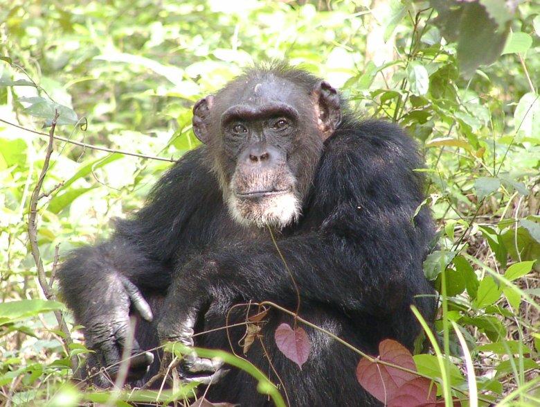 Jeden z szympansów z Bossou