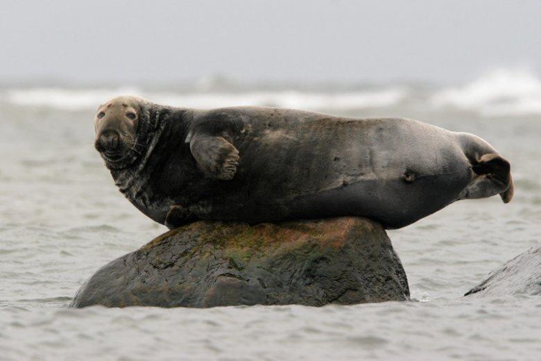 Foki w Polsce są pod całkowitą ochroną. Mimo tego w tym roku znaleziono już pięć zwierząt zamordowanych przez człowieka.