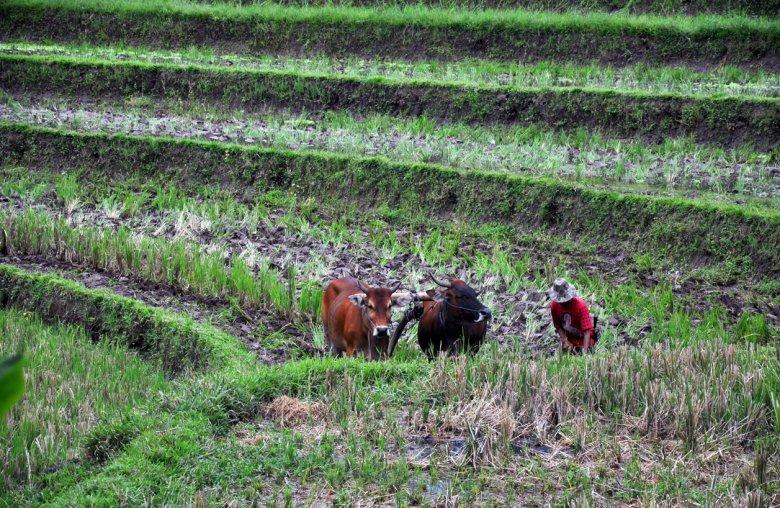 Przygotowanie do uprawy ryżu
