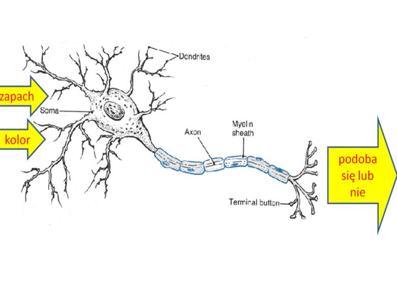 """Przykładowy neuron, na którym będzie objaśnione znaczenie """"wag"""""""