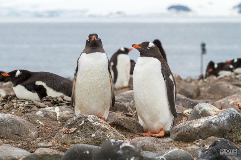 Kolonia pingwinów białobrewych