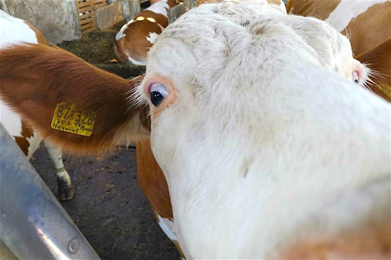 Miejsce, w którym często dochodzi do spotkań trzeciego stopnia z krowami
