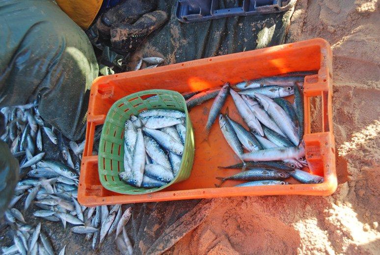 Posortowane makrele i sardynki minuty temu wyciągnięte z wody.