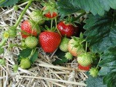 Pojawiły się pierwsze polskie truskawki