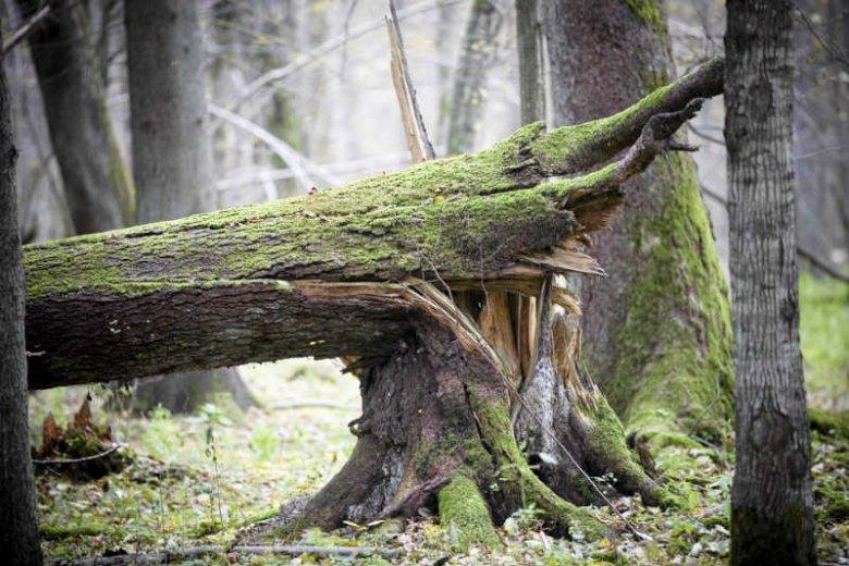 W Puszczy Białowieskiej prowadzona jest wycinka drzew na masową skalę.
