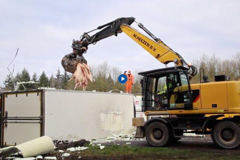 Holenderski portal ed.nl publikuje film, na którym widać operację podnoszenia polskiego TIR-a. Najpierw ze środka zabrano przewożone wieprzowe tusze.