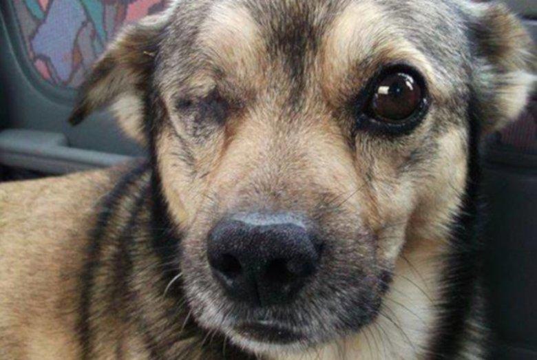 """Pies """"Oczko"""", któremu na jednej z wiosek wykluto oko sztachetą z gwoździem."""