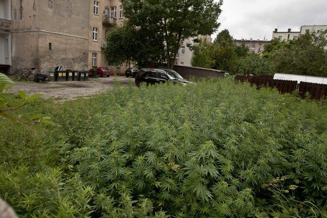 Scytowie zapoznali Europejczyków z północy z marihuaną 500 lat przed Chrystusem. Na zdjęciu dzika plantacja konopi indyjskiej w Bydgoszczy