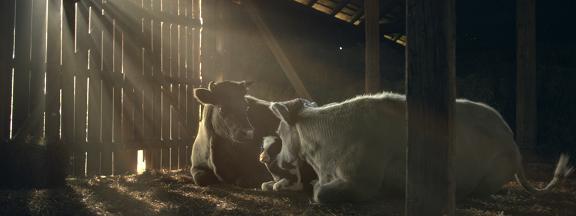 "Obrazek z reklamy mleka ""Łaciate"""