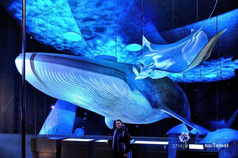 Pod wielkim płetwalem błękitnym w Ozeaneum w Stralsundzie.