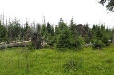 Las Bawarski tak odradza się pod gradacji kornika.