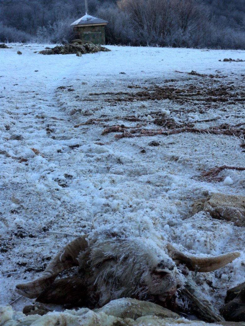 Martwy baran wyrzucony na nęcisku w Bieszczadach.