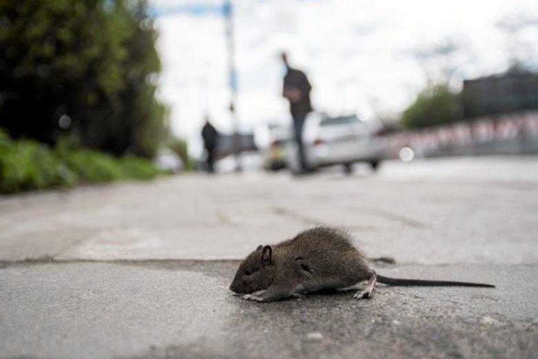 Prawica twierdzi, że w stolicy za szczury odpowiada prezydent Trzaskowski...
